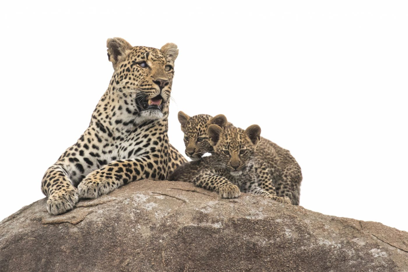 The-Emsagweni-female-and-cubs-by-ranger-Dan-Bailey