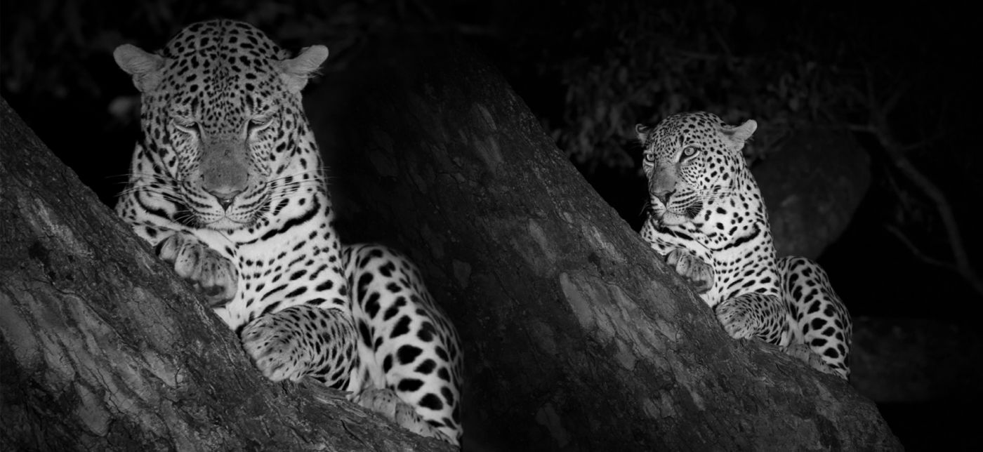 ID-shots-of-the-new-male-leopard