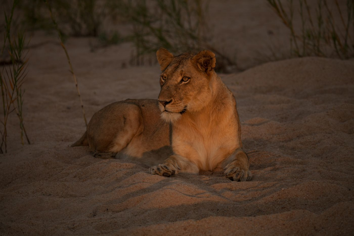 The-moment-the-Kambula-lioness-noticed-the-Nkoveni-female
