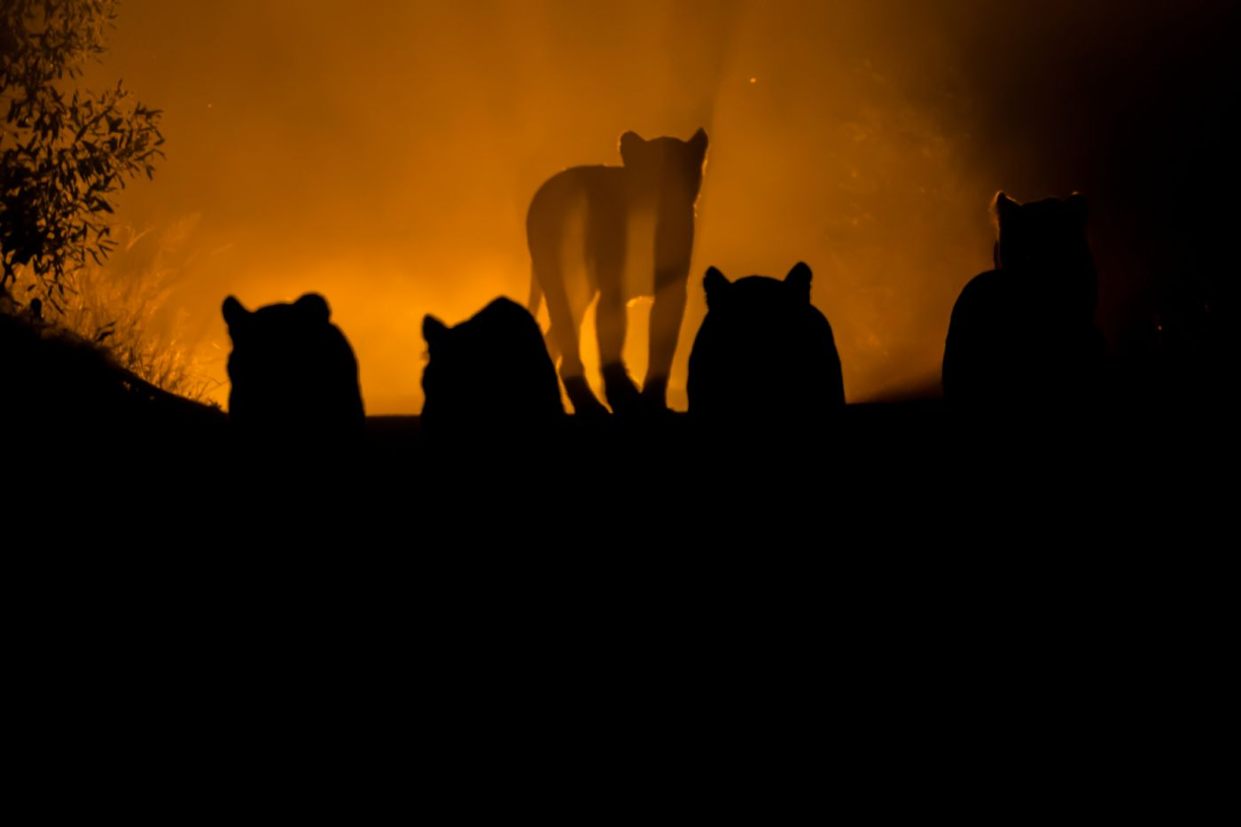 Back-lit-lioness-silhouette