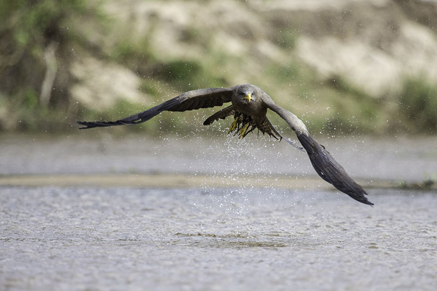 A Yellow Billed Kite Takes Off After Bathing In The Sand River