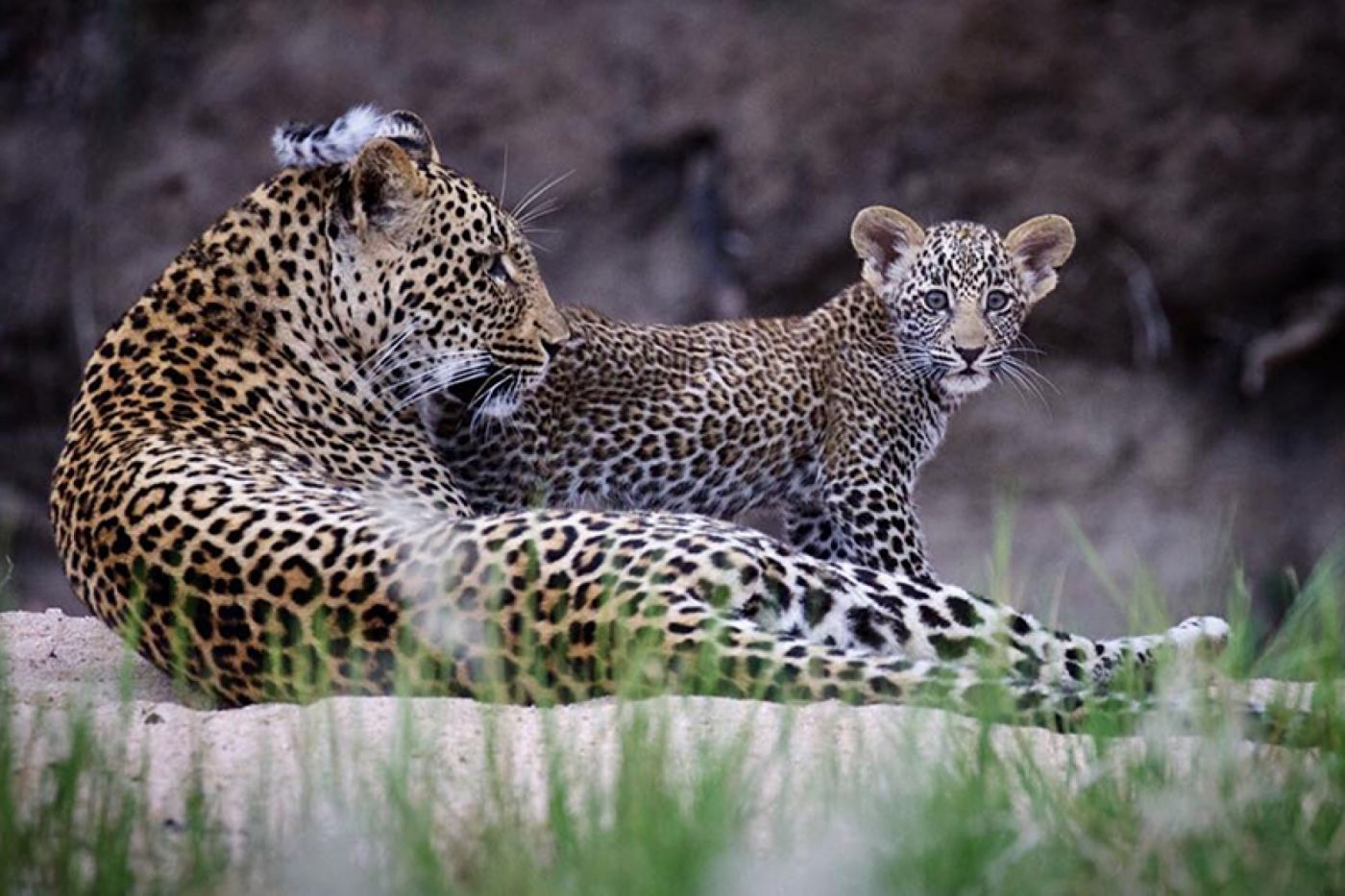 The Piccadilly Female With Her Cub By Ranger Dan Bailey