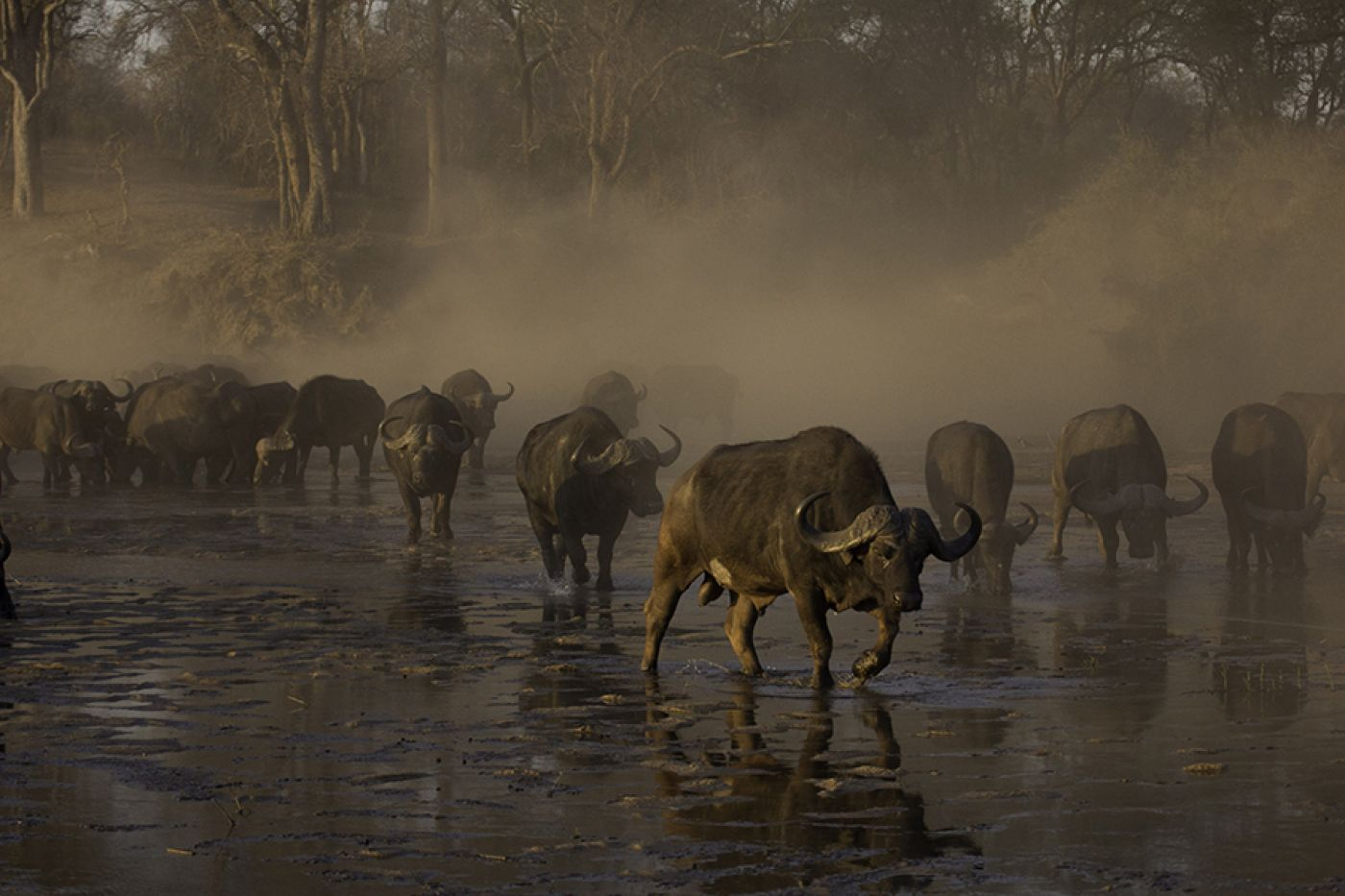 A Herd Of Buffalo Entering The Sand River During Winter