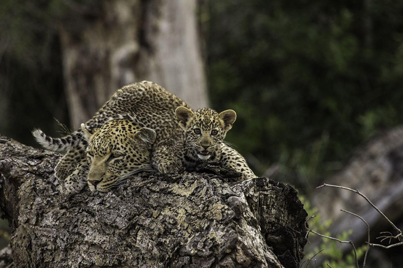 The Lookout Female And Her Cub  By Ranger Pieter Van Wyk