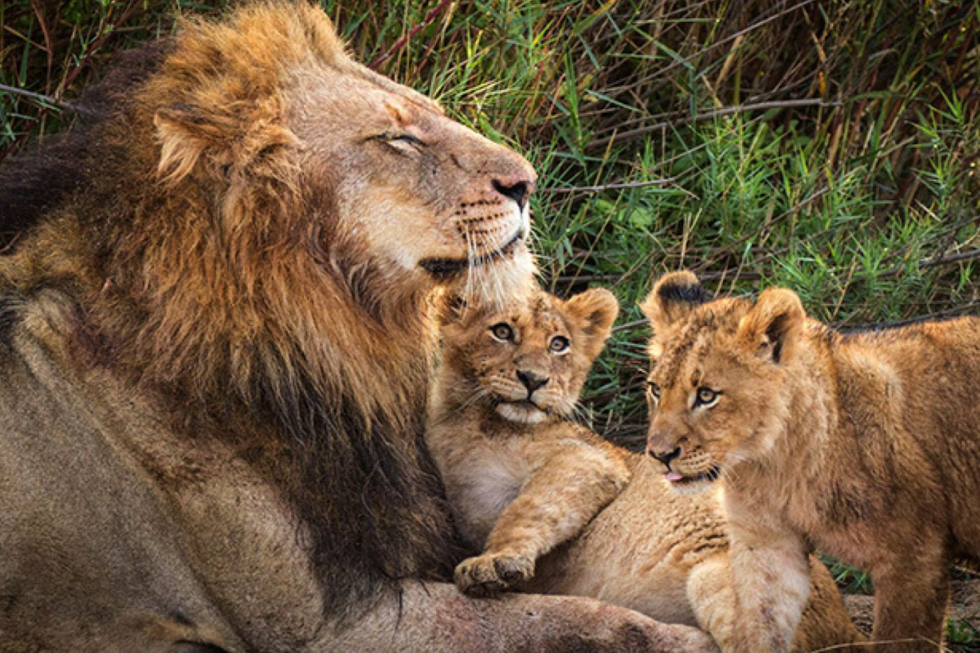 Charleston Male And Cubs By Pvw
